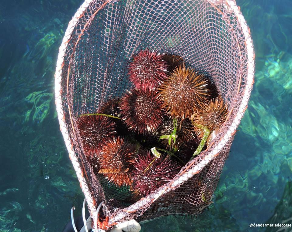 Fin de la saison des oursinades en Corse