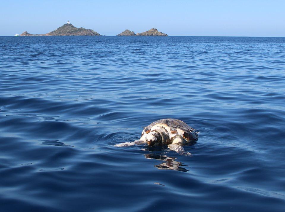 Ajaccio : une tortue retrouvée morte au large des Sanguinaires