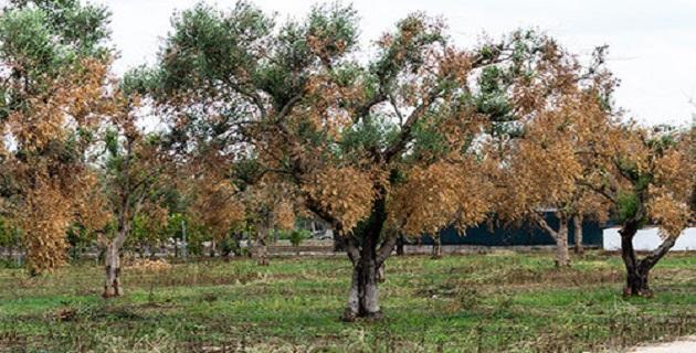 Xylella, la bactérie tueuse d'oliviers, menace l'Europe