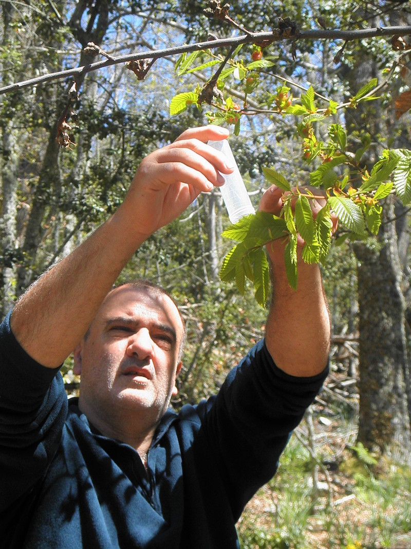 La lutte contre le cynips continue en Alta Rocca