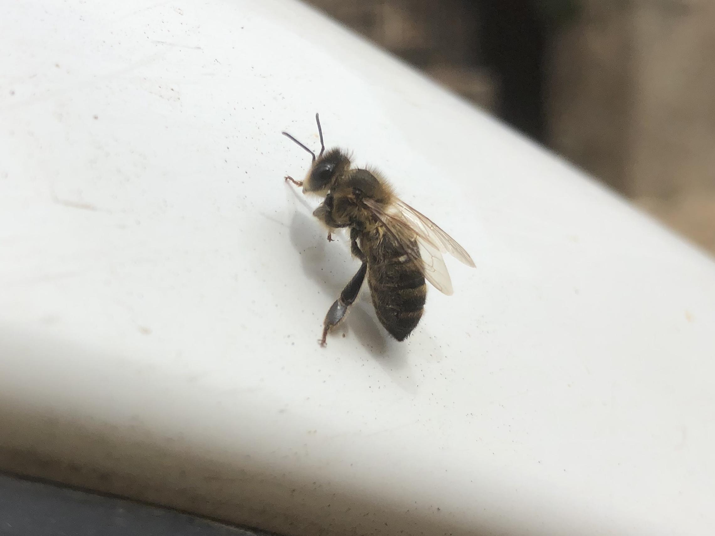 Un nulu d'ape corse in cerca d'una casa