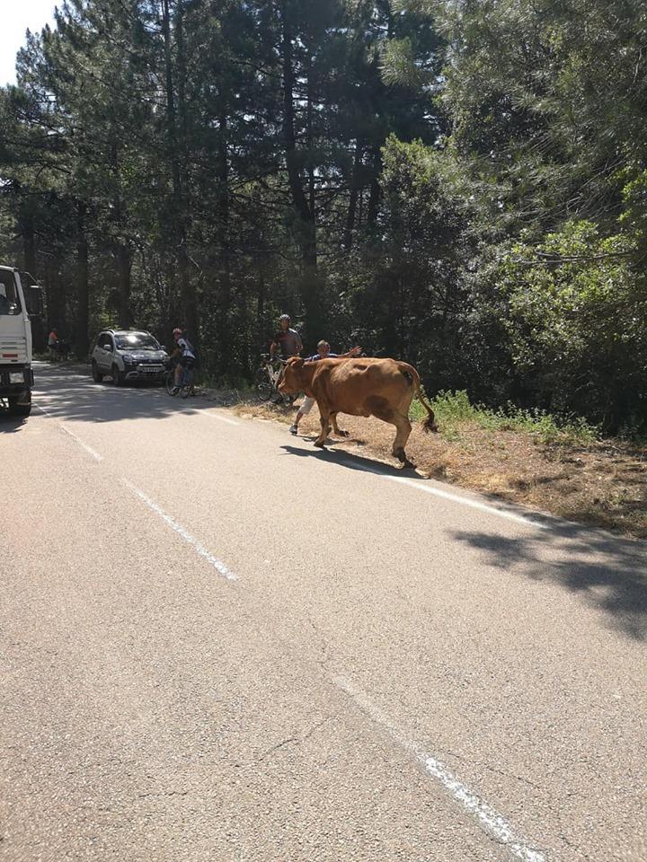 Ospedale : Les pompiers et les services municipaux de Porto-Vecchio au secours d'une vache