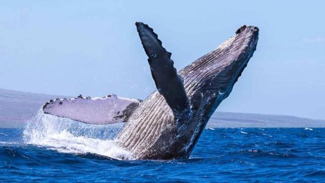 INSOLITE - Une baleine à bosse aperçue en Méditerranée, au large de la Corse