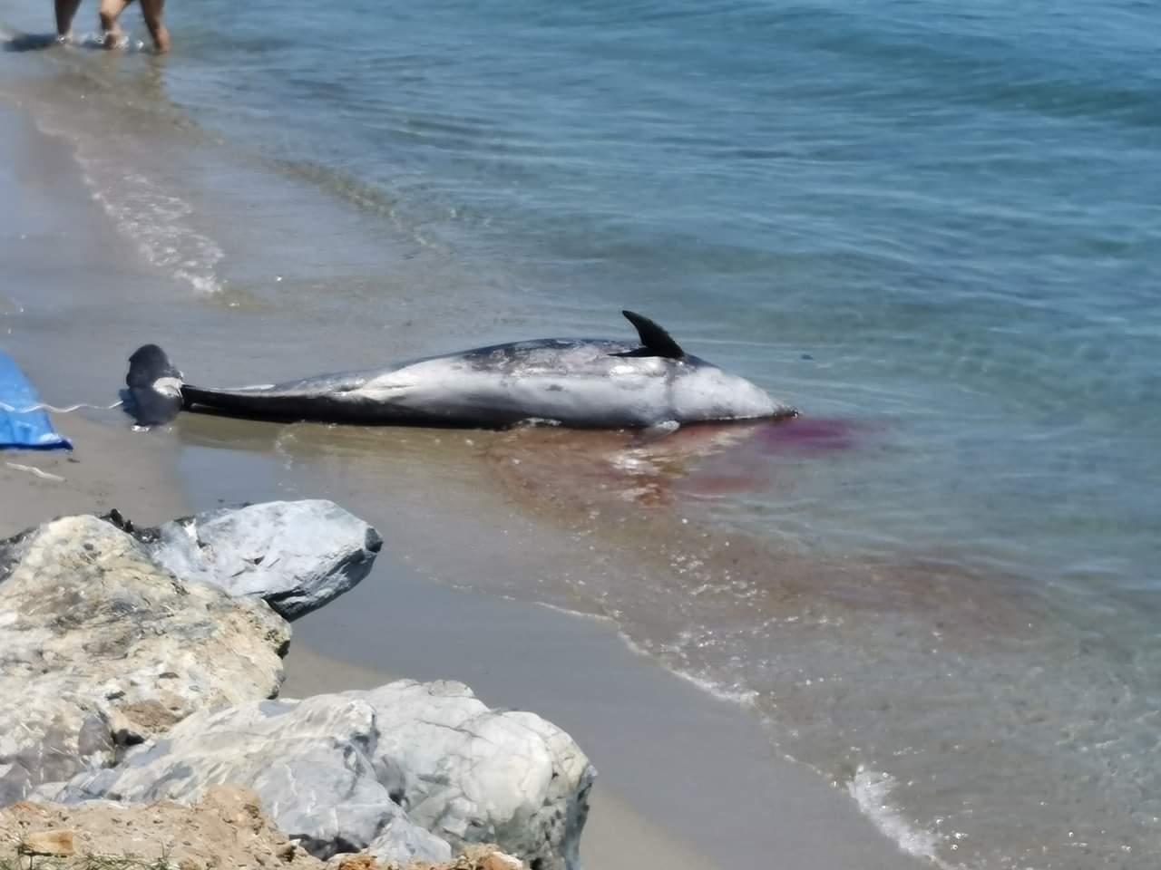 Pourquoi tant de dauphins meurent sur les côtes corses ?