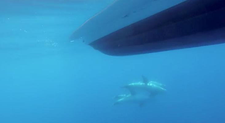 VIDEO - A la rencontre des dauphins de Risso au large du Cap Corse