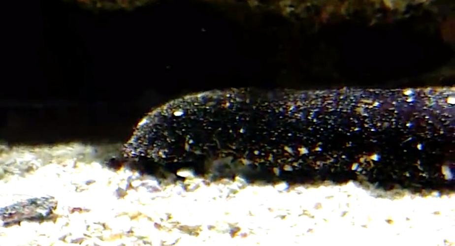 Corse : la capture, le transport et la détention de concombres de mer interdits
