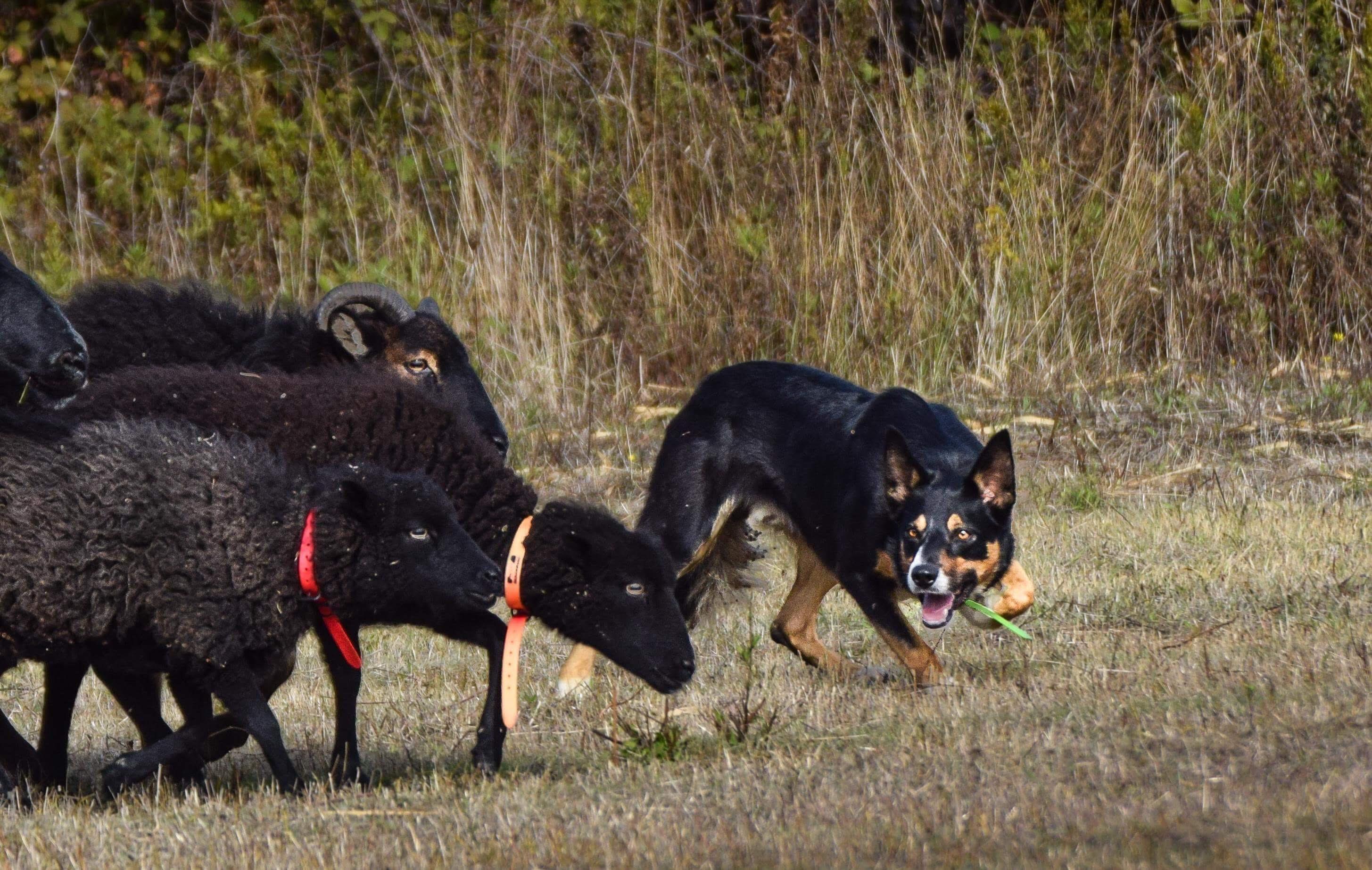 Alta Rocca : l'art et la manière d'initier les chiens au travail sur troupeau