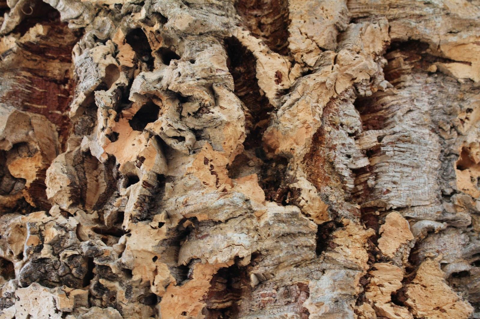 Sartene : le chêne-liège de Cauria sera t-il le plus bel arbre de l'année ?