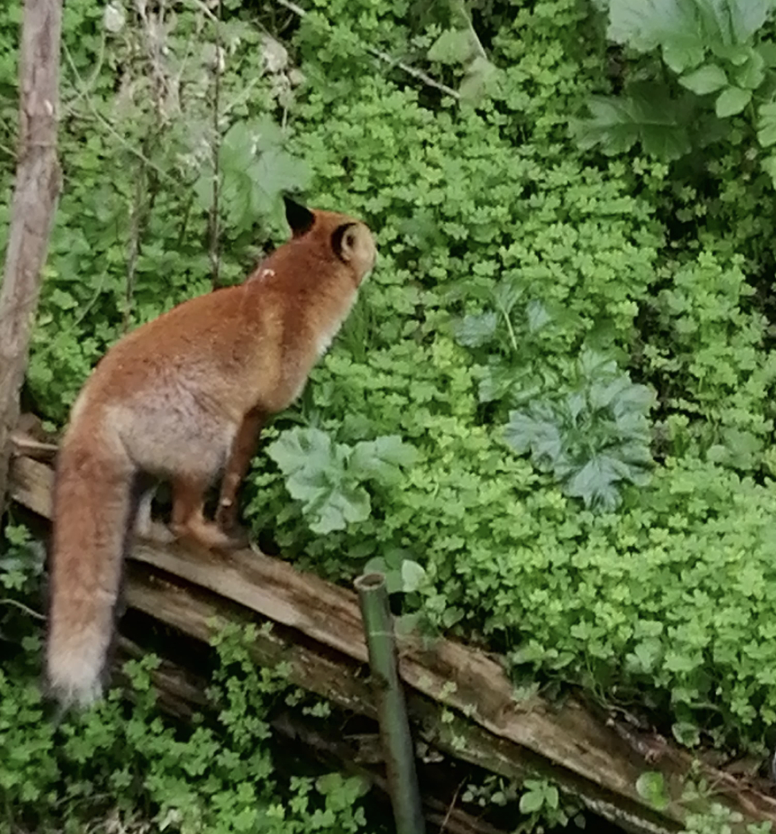 Bastia : quand les renards arrivent en ville