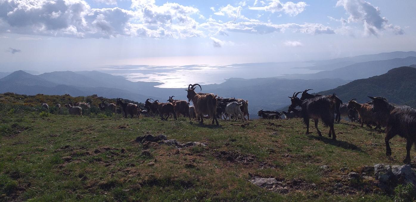 La photo du jour : les chèvres redescendent de a punta a ghjesgia