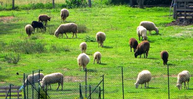 Parcours pastoraux : Les Jeunes agriculteurs de Haute-Corse demandent une rencontre avec Lionel Mortini