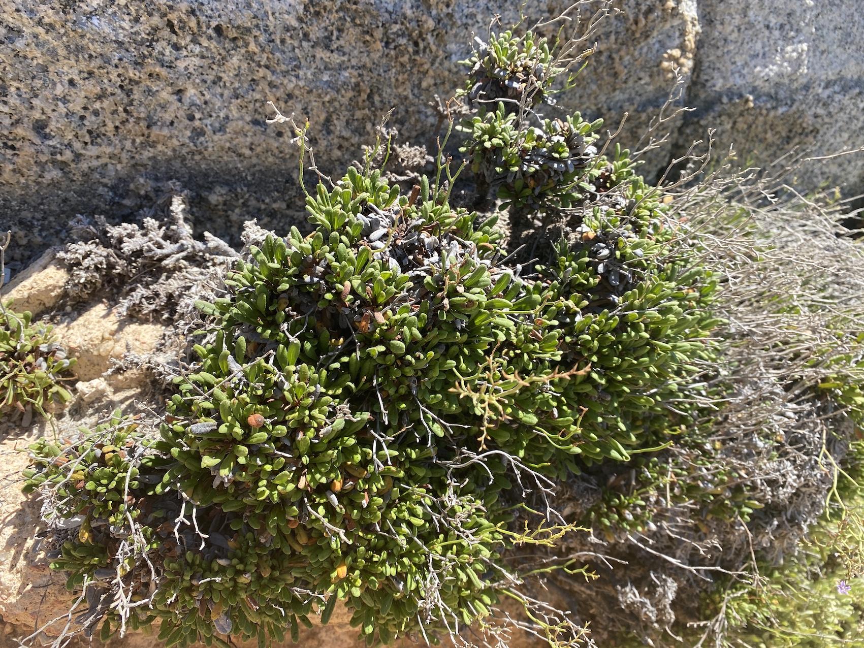 Le limoniom lambinonii, plante endémique de l'île.
