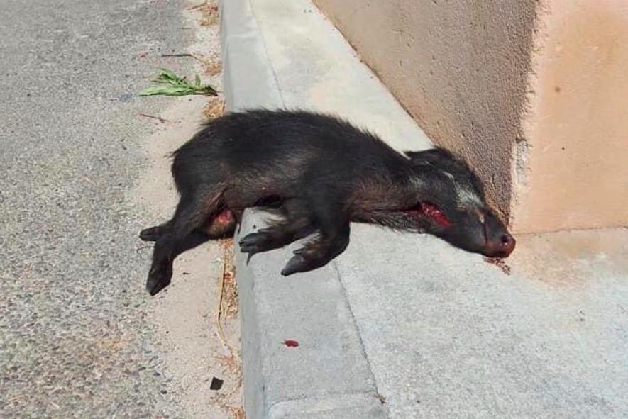 Cruauté envers les animaux : un marcassin éventré à Calvi