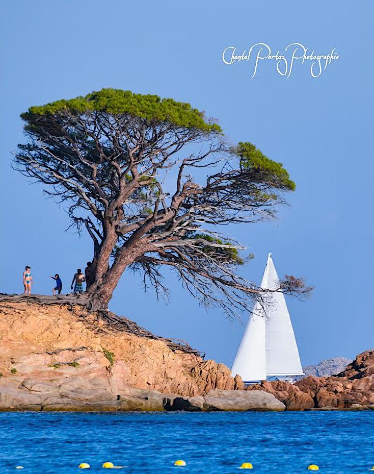 La photo du jour : le pin d'Acciaghju a perdu de sa superbe