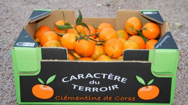 Clémentines corses : 900 marocains attendus sur l'île pour la récolte