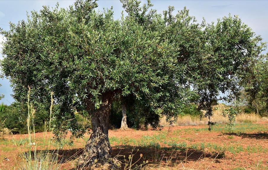 La crainte d'un retour de la Xylella en Corse