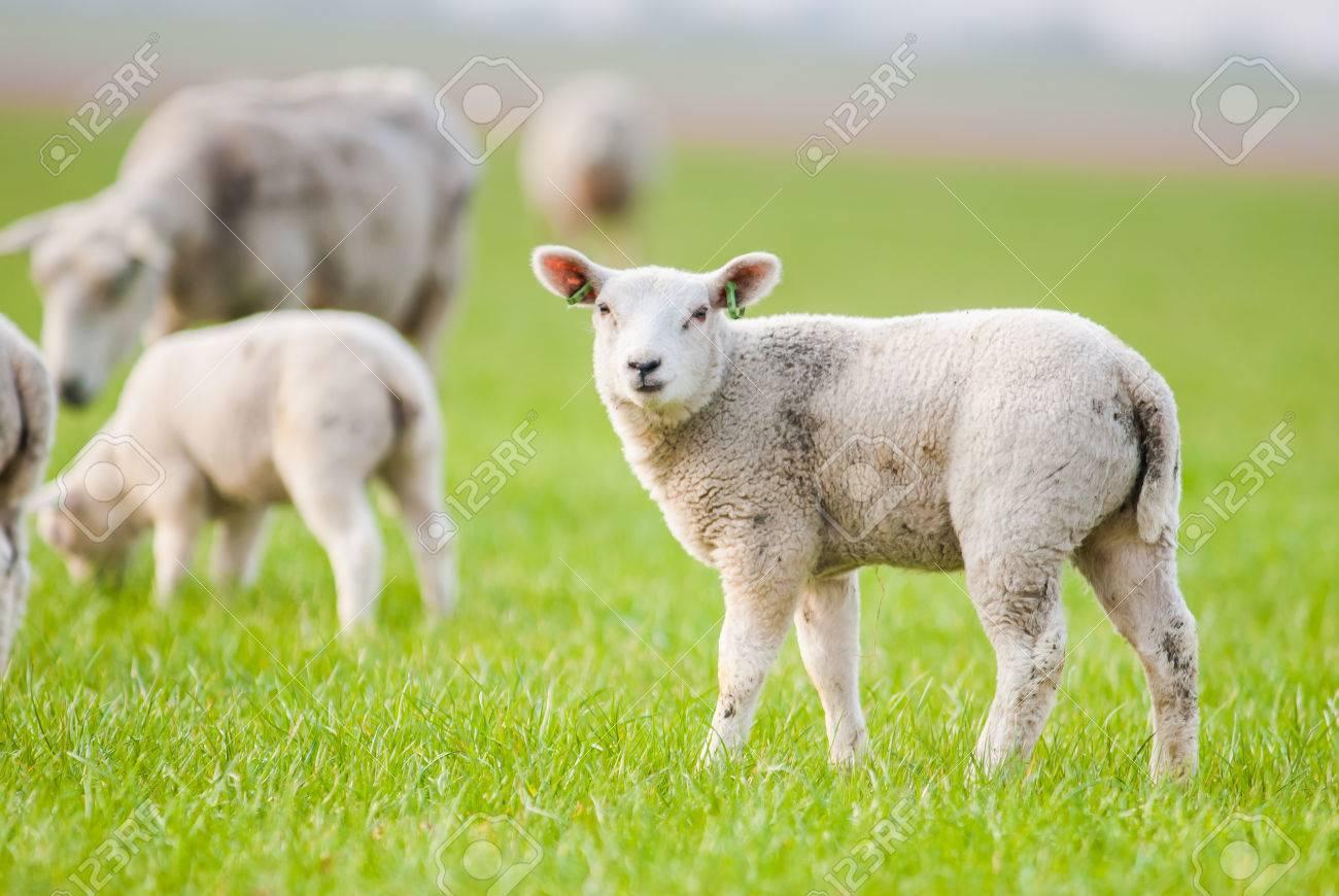Ce sont 60 agneaux qui sont décédés à la bergerie de la prison de Casabianda