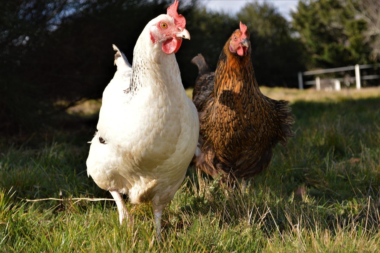 Ce sont 98 poules et oies porteuses du virus de grippe aviaire qui sont décédées ces derniers jours à Lucciana