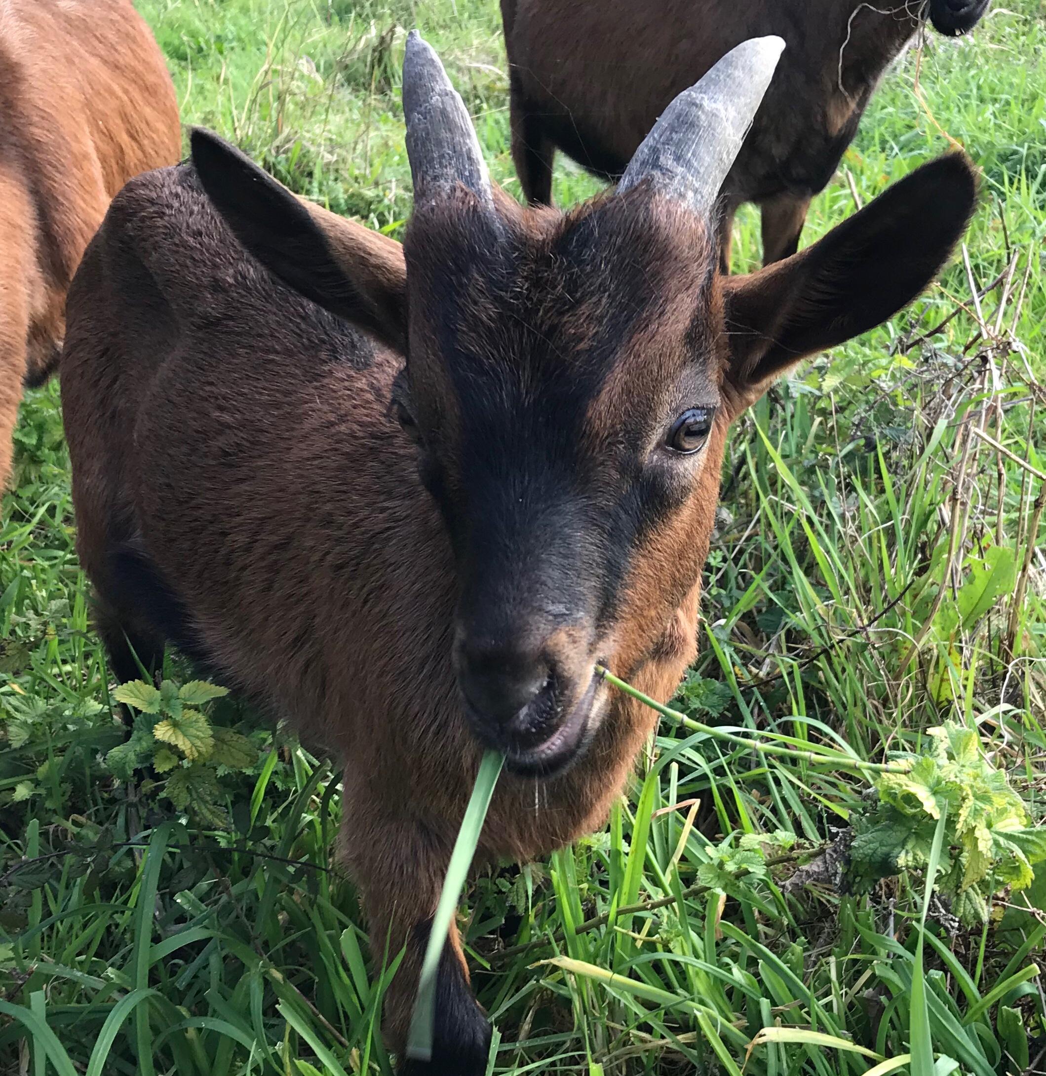 Une ferme de Biguglia récupère les sapins de Noël pour nourrir ses chèvres