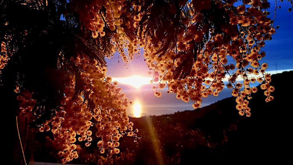 La photo du jour : le mimosa dans le soleil levant de Silgaghja