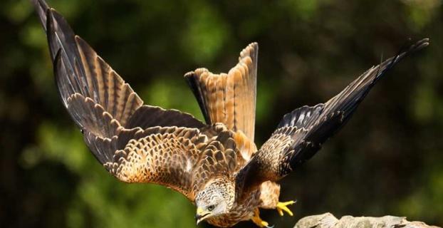 Crédit photo Oiseaux de Corse