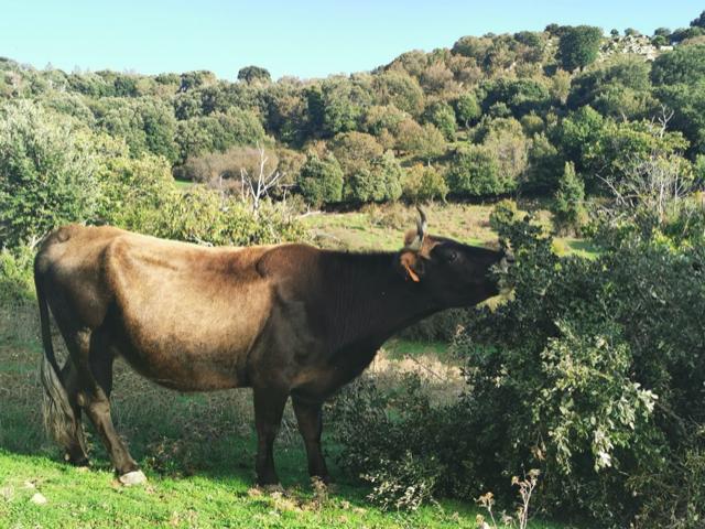Tous les éleveurs sont conviés à cette journée, qu'ils élèvent des bovins, des caprins ou des ovins. Crédits Photo : Chambre d'agriculture régionale de Corse.