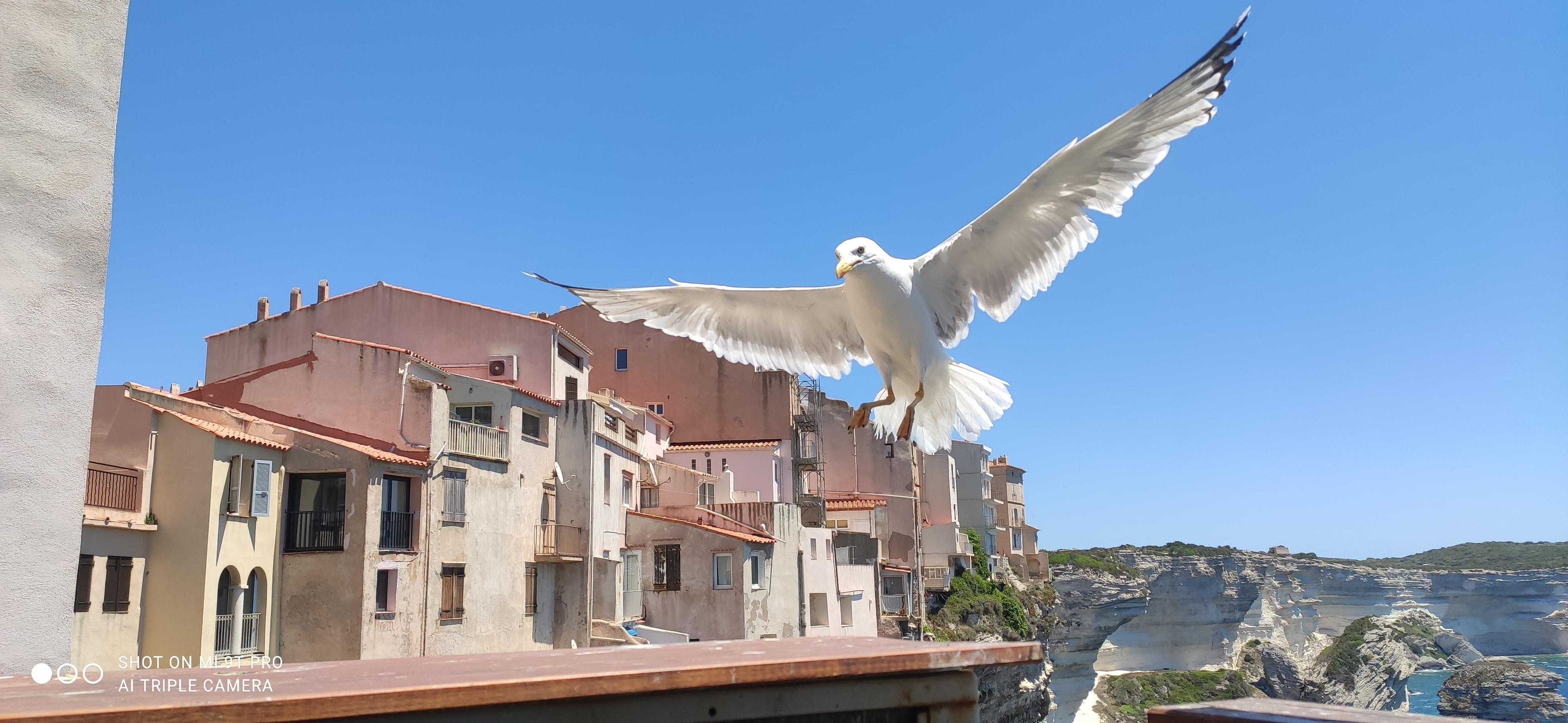 La photo du jour : le goéland de Bonifacio