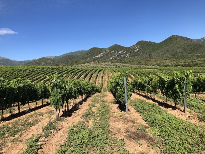 L'irrigation des vignes a été stoppée le 15 août.