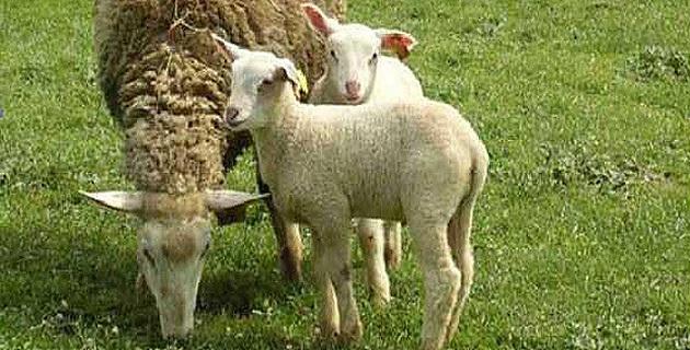 Fièvre catarrhale : Via Campagnola reçu au ministère de l'Agriculture, mais pas entendu