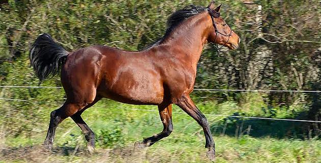 Cavallu Corsu : Approbation et confirmation à Casatorra