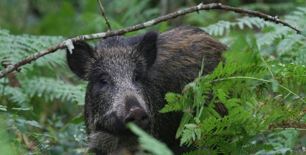 Corse : Une étude sérologique contre la peste porcine africaine