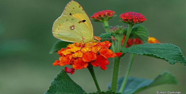 Papillons de nos jardins et de nos chemins