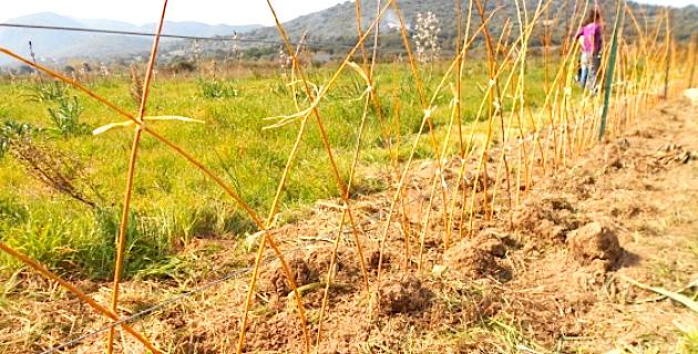 Plantation d'une haie d'osier tressé à Lozari