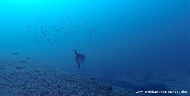 Insolite : Mola mola sur les épaves du Cap Corse !