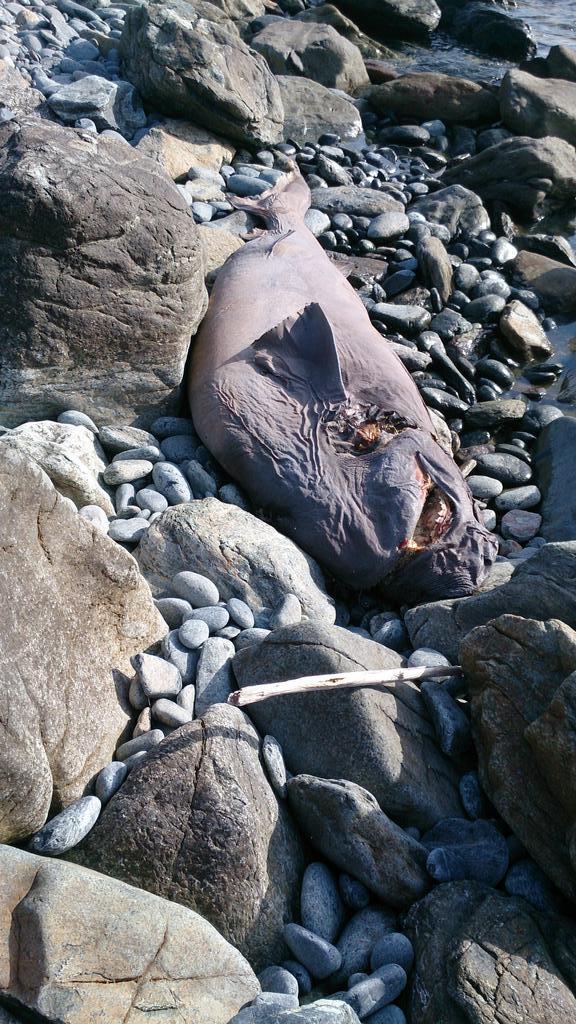 Un requin griset mort près de la plage de Farinole