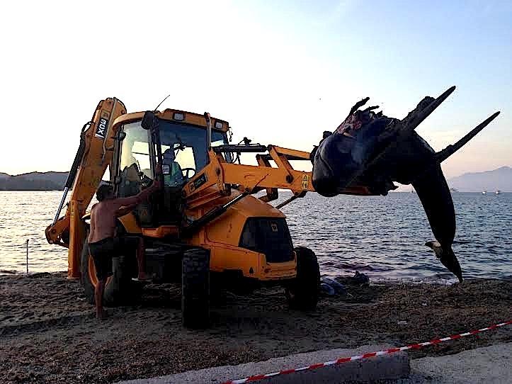 Saint-Florent : Un dauphin s'échoue sur la plage
