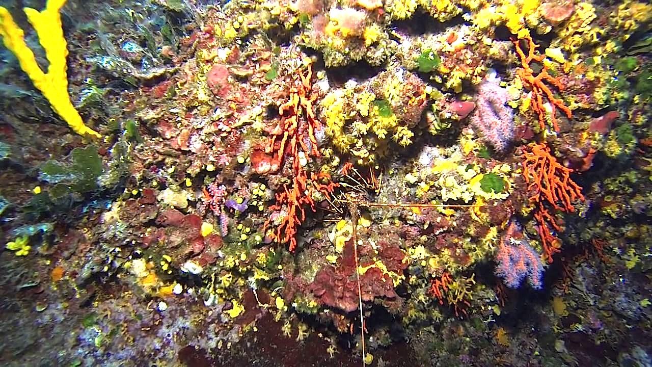 Golfe du Valinco : Corail et langoustes dans l'objectif de Stéphan Le Gallais