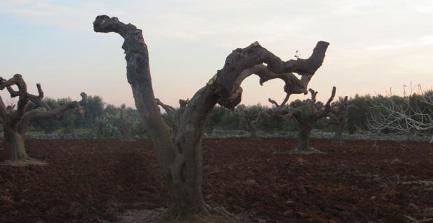 Des oliveraies transformées en champs de ruines après le passage de la xylella fastidiosa.