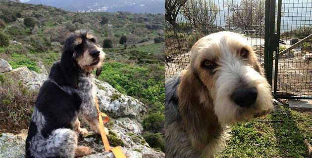 Une récompense de 5 000€ pour retrouver les griffons bleus de Gascogne de Sant'Antonino