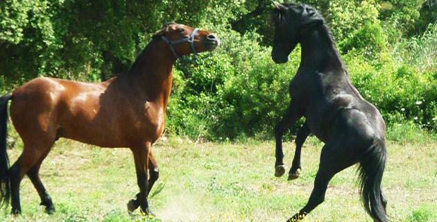 Cavallu corsu : La saison de monte 2015