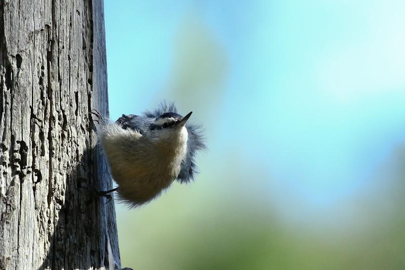 http://www.oiseauxdecorse.fr