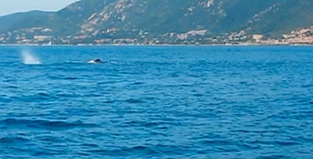 Ajaccio : Un cachalot à l'entrée du port