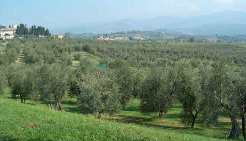 Pas de Xylella fastidiosa en Toscane : Feu vert du Gouvernement italien à l'exportation de plantes (en Corse ?)