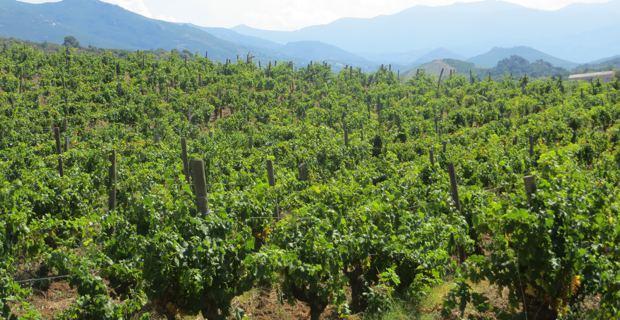 Le vignoble de Patrimoniu.