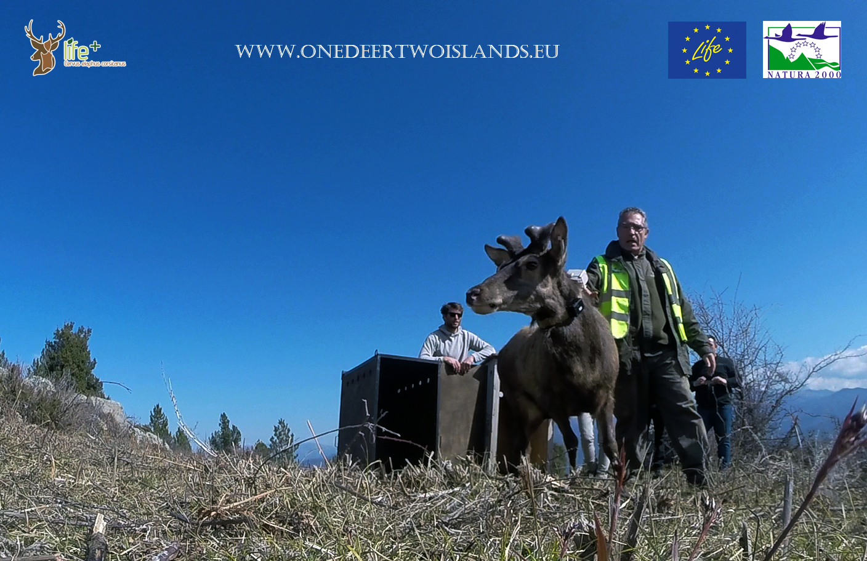 Un cerf pour deux îles : Un deuxième lâcher à Santu Petru-di-Venacu