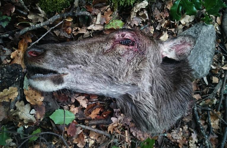 Centre-Corse : Une biche abattue puis décapitée