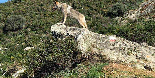 Un loup sur le GR 20 ?