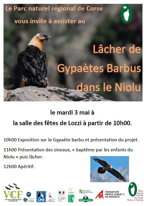 Lozzi : Premier lâcher de gypaètes barbus en Corse