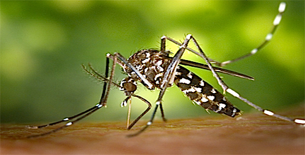 Moustique-tigre en Corse : 14 cas suspects et 1 cas de chikungunya importé en 2015