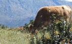 """Agrobiodiversité animale : A """"Moresca"""" des points communs avec la vache de l'Atlas marocain !"""